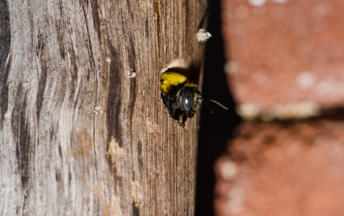 Carpenter Bee on a Tree