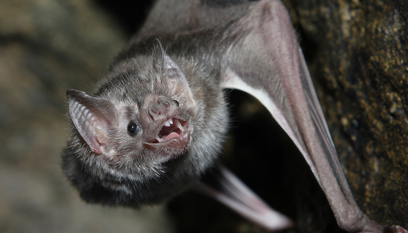 Open mouthed bat